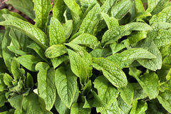 Comfrey Leaves Stock Photos