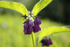Comfrey plant, with purple, violet flower, and green leaves, on meadow. Comfrey plant, with purple, violet flower, and green leaves, on the meadow Stock Photos