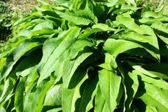 Comfrey on a sunny day stock photos