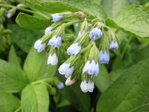 Comfrey (Symphytum) Stock Photos