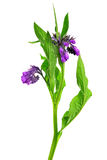 Comfrey (Symphytum officinale). Isolated on white background, plant used in medicine Stock Image
