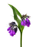 Comfrey (Symphytum officinale) Stock Photo