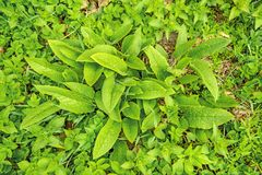 Comfrey, young fresh leaves in spring Royalty Free Stock Photo