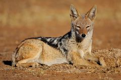 Comfy lounger. A Black Backed Jackal Enjoying the Morning sun Royalty Free Stock Photos