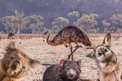 Comic collage of Australian native animals. Comic collage of Australian native animals - emu, koala, Tasmanian devil, and kangaroo portraits royalty free stock photos