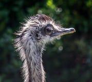 Comic,funny bird. Comic,funny,strange emu bird head and neck,eye half closed Stock Images
