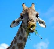 Comic giraffe feeds. On the African savannah Stock Image