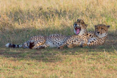 Comical Cheetahs, Masai Mara, Kenya Stock Photos