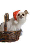 Comical Christmas Pup Royalty Free Stock Image