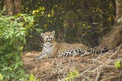 Comical Cross-Eyed Wild Jaguar Looking Up Stock Photos