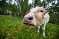 Comical and curious cow stretches her head to the camera lens. Comical portrait of a cow shot on a wide-angle lens Royalty Free Stock Photo