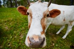 Comical and curious cow stretches her head to the camera lens. Comical portrait of a cow shot on a wide-angle lens Royalty Free Stock Images