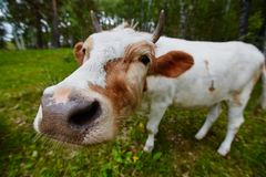 Comical and curious cow stretches her head to the camera lens. Comical portrait of a cow shot on a wide-angle lens Stock Images