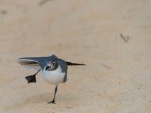 Comical Dancing Bird on Sand. A white and grey seagull on sand that looks like it is dancing. Bird is in focus, sand gradually goes out of focus. Around the bird Stock Photos