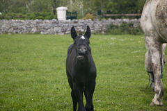 Comical expression on face of black foal with white mare Stock Images