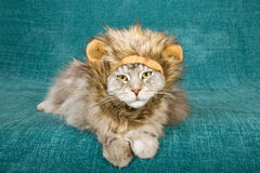Comical funny cat wearing furry lion mane hat cap on teal background. Funny comical cat lying down on teal background, wearing furry lion mane hat with ears Royalty Free Stock Image