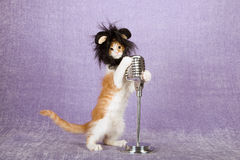 Comical funny kitten wearing black furry animal wig with large ears holding onto vintage fake microphone on stand. Comical funny kitten with black furry animal royalty free stock image