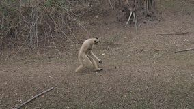 Comical gray langur monkey walks on dry grass ground in zoo. Comical langur monkey with large claws walks on hind legs on dry grass ground in animal enclose in stock video