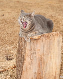 Comical image of a blue tabby cat yawning royalty free stock images