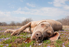 Comical image of a Weimaraner dog being lazy. Lying in spring grass looking at the viewer Royalty Free Stock Images