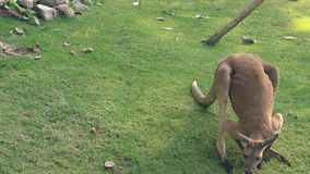 Comical kangaroo crawls and looks for food in green grass. Comical peach colored kangaroo crawls slowly and looks for food in green grass growing in tropical zoo stock video footage