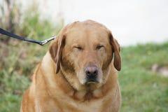 Comical Labrador Retriever Royalty Free Stock Photography
