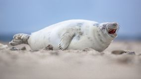 Comical laughing baby harbor seal stock photos