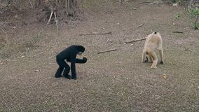 Comical macaques walk on dry grass ground in zoo enclosure. Comical macaques walk together on dry grass ground exploring area around in zoo animal enclosure slow stock video footage