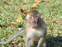 Comical monkey expression Royalty Free Stock Image