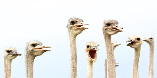 Comical ostrich birds Royalty Free Stock Photos