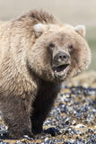 Comical picture of brown bear cub Royalty Free Stock Photos