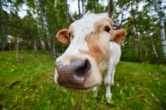 Comical and curious cow stretches her head to the camera lens. Comical portrait of a cow shot on a wide-angle lens Stock Photos
