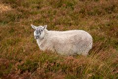 Comical Sheep in Heather in the Wicklow Mountains Royalty Free Stock Photo