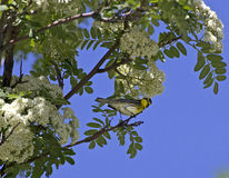 Comical Townsends Warbler Bird In Flowering Tree. A comical Townsend's Warbler bird (Setophaga townsendi) in a spring flowering tree Stock Image