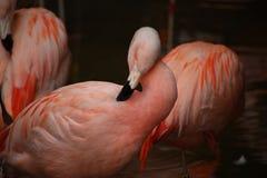 Comichão do flamingo Imagens de Stock Royalty Free