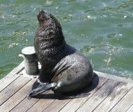 Comichão do lobo-marinho fotografia de stock