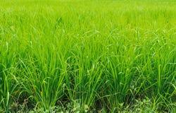 Comida Asia Tailandia de la naturaleza de la planta del campo del arroz Foto de archivo libre de regalías