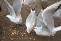 Comida campestre de las gaviotas Fotografía de archivo libre de regalías