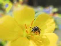 Comida coolecting de la abeja de la miel por la mañana Imagen de archivo libre de regalías