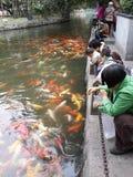 Comida de alimentación a los pescados Fotos de archivo