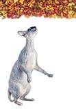 Comida de gato seca do anúncio do gato de Sphynx Imagem de Stock