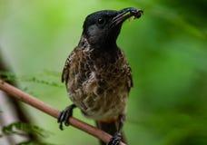 Comida de la caza del pájaro en monzón Imagen de archivo