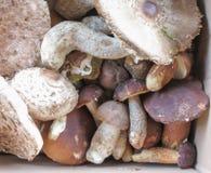 Comida de la seta del aereus del boleto de Porcini Fotografía de archivo libre de regalías