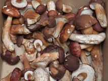 Comida de la seta de la seta de Porcini Imágenes de archivo libres de regalías