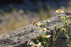 Comida del hallazgo de la abeja en las flores Fotos de archivo