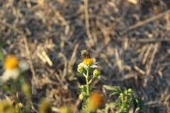 Comida del hallazgo de la abeja en las flores Imagenes de archivo