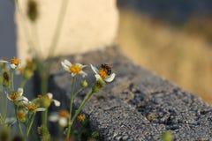 Comida del hallazgo de la abeja en las flores Fotografía de archivo