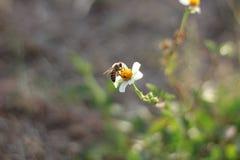 Comida del hallazgo de la abeja en las flores Fotografía de archivo libre de regalías