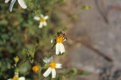 Comida del hallazgo de la abeja en las flores Imágenes de archivo libres de regalías