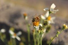 Comida del hallazgo de la abeja en las flores Fotos de archivo libres de regalías
